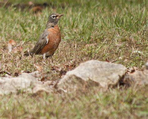 robin interesting fact i ve learned during breeding