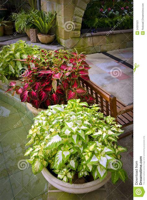 pot de chambre de la centrales mises en pot de coleus dans la chambre de jardin