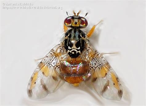 http://www.biodiversidadvirtual.org/insectarium/Ceratitis-capitata-img401212.html