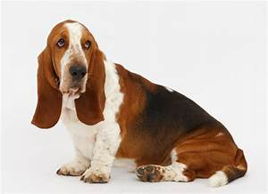 How to keep your Basset hound's ears clean and healthy ...