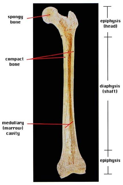 Basic Bone Diagram by Bones Causes Symptoms Treatment Bones