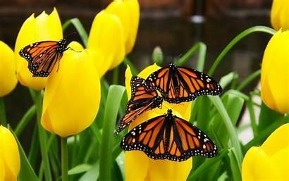 Butterfly Butterflies Tulips Amazing Nature Windows Flowers