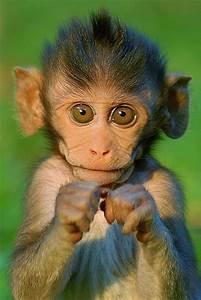 17 Best ideas about Baboon on Pinterest   Monkeys animals ...