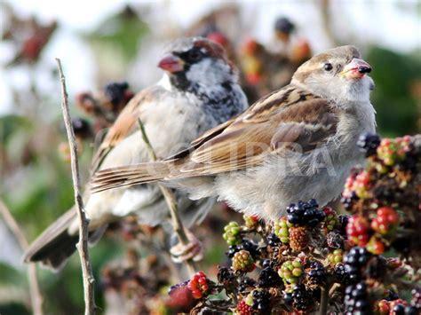 house sparrows eating blackberries