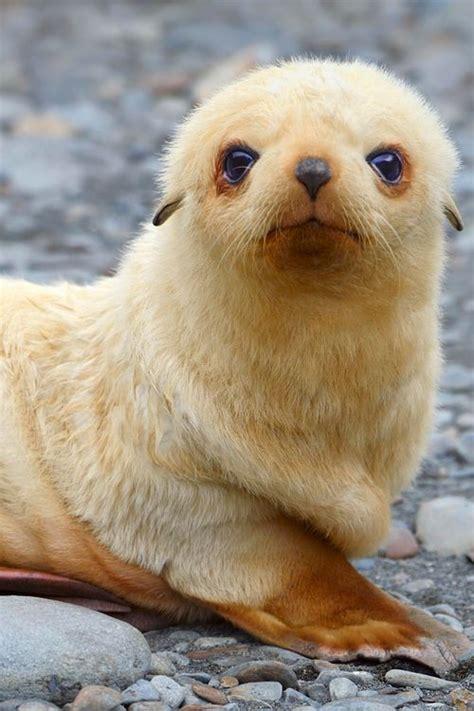blondie antarctic fur seal pup sits   beach south