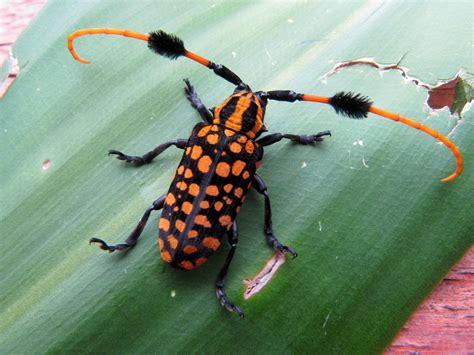 shake  pom poms longhorn beetle featured creature