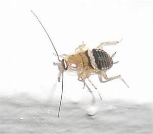 Insecte De Maison : ectobius vinzi insecte inconnu dans la maison le monde ~ Melissatoandfro.com Idées de Décoration