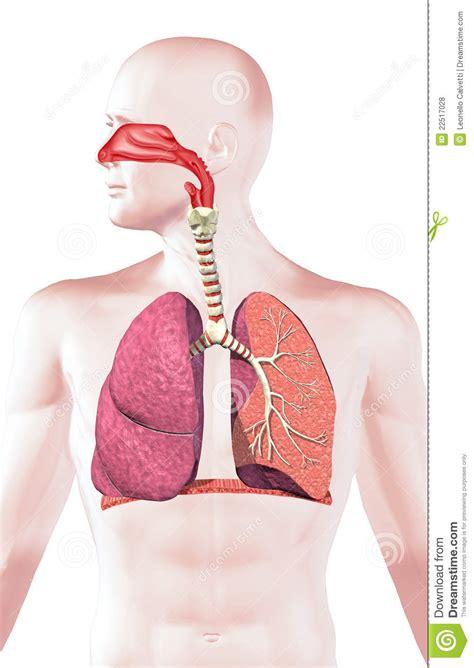 sistema respiratorio humano de secao transversal fotos