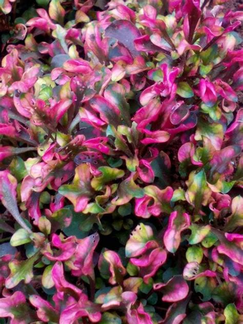 jual tanaman krokot merah pohon kerokot merah global