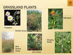 Grassland Biome Plants...