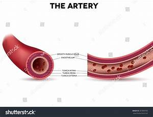 Healthy Artery Anatomy Artery Layers Detailed Stock Vector