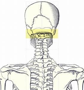 File Occipital Ridge Gif
