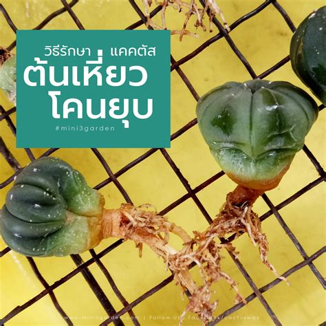 รักษาต้นแคคตัส กระบองเพชร เหี่ยว โคนยุบ | ถาด, สวน