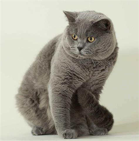 Britu īsspalvainie kaķi. - Spoki