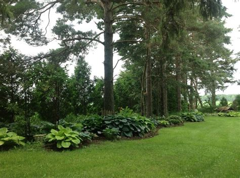 pine trees edged  hostas gardening pinterest