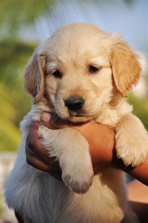 golden retriever puppies for adoption in bangalore