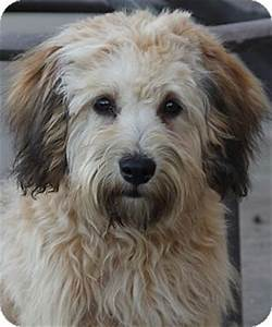 Bowie | Adopted Dog | San Pedro, CA | Havanese/Wheaten ...