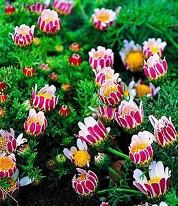 Blühende Pflanzen Winterhart : bl hende bodendecker kollektion bodendecker stauden bei ~ Michelbontemps.com Haus und Dekorationen