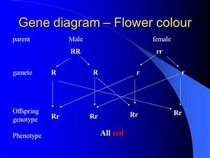 Genetic Crosses - Presentation Genetics