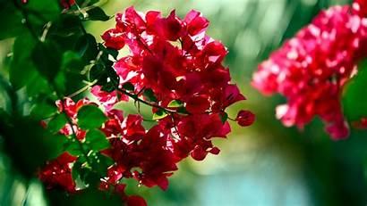 Bougainvillea Flower Wallpapers 4k Desktop