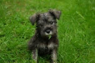 Dog Miniature Schnauzer Puppies