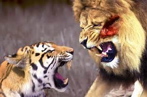 Tiger Vs Wolf Video | www.pixshark.com - Images Galleries ...