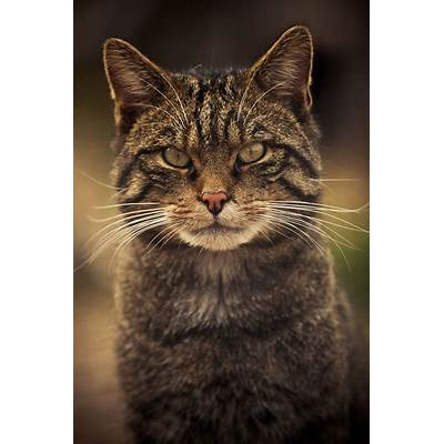 Scottish Wildcat by Andy HunterCatsPinterest