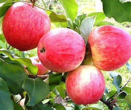 KONFETNOJE - Vasaras ābele