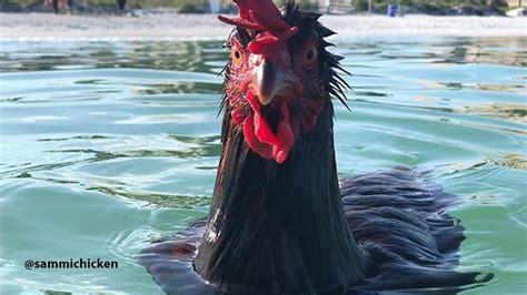 chicken   sea hen takes  dip  indian rocks beach