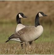 """Did you ever look at a Canada Goose and say, """"hmmm… wonder ..."""