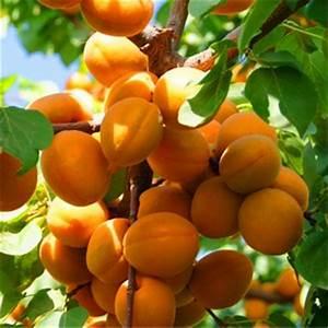 Apricot Fruit Tree Seeds — Jack Seeds