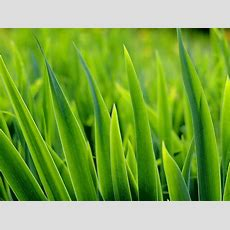 Grünes Gras Blätter Hintergrundbilder  Grünes Gras