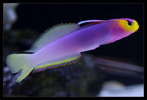 yellow white helfrichi firefish nemateleotris helfrichi akvaryum