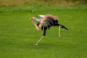 Running Secretary Bird   Birdswitharms