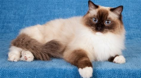 Ragdoll  Cat Breed Of The Day