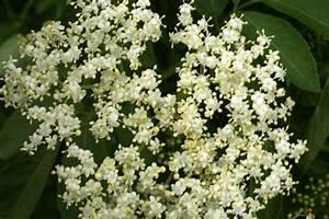 Holunder Black Beauty Essbar : holunder sambucus nigra sambucus nigra schwarzer holunder ~ Michelbontemps.com Haus und Dekorationen