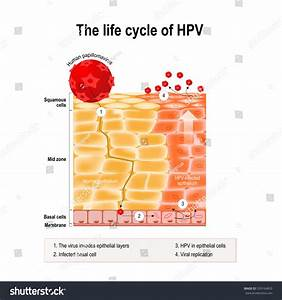 Life Cycle Hpv Human Epithelium Hpv Stock Vector 559164853