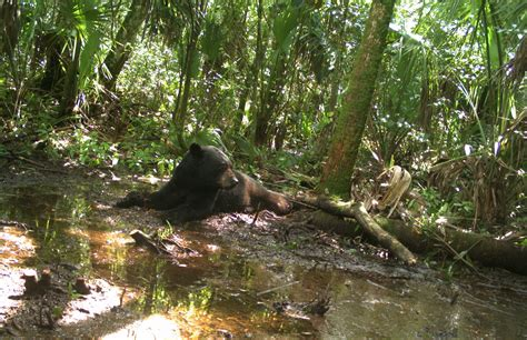 florida black bears petitioned for u s endangered species 919   9509741577 d53dc10349 o e1461603860174