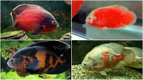 types  oscar fish doovi