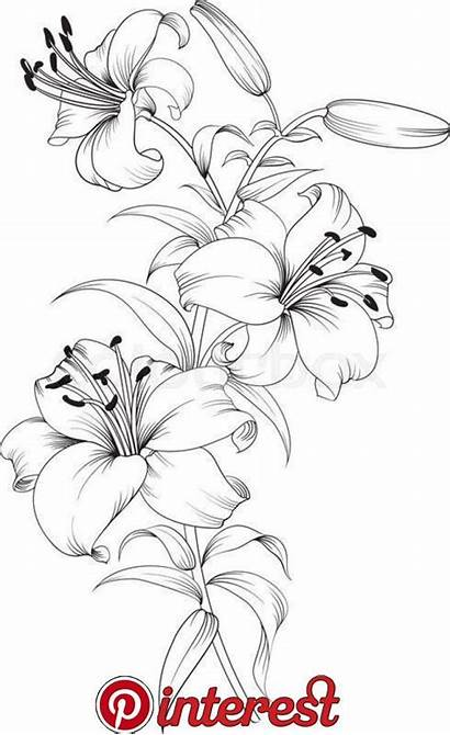 Flower Drawing Lilies Sketches Pinnes
