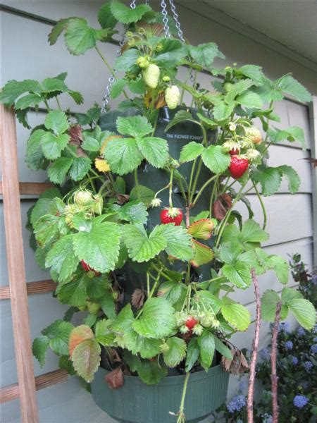 hanging strawberry planter weekend project hanging strawberry planter garden therapy
