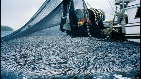 petition protect pacific herring  dfos
