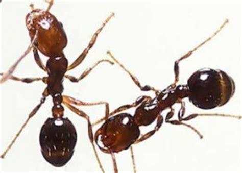 quelles sont les fourmis 224 l int 233 rieur de votre maison