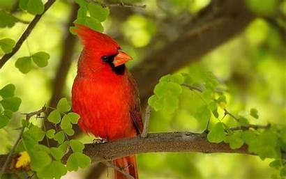 Cardinal Bird Wallpapers Birds