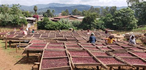 When fermenting a naturally processed coffee, you are effectively leaving the coffee to sit after picking for anything up to 72 hours before drying. Sucafina Specialty: Worka Yirgacheffe Anaerobic Natural