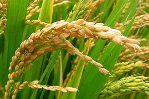 Scientists Develop Salt Tolerant Rice Variety