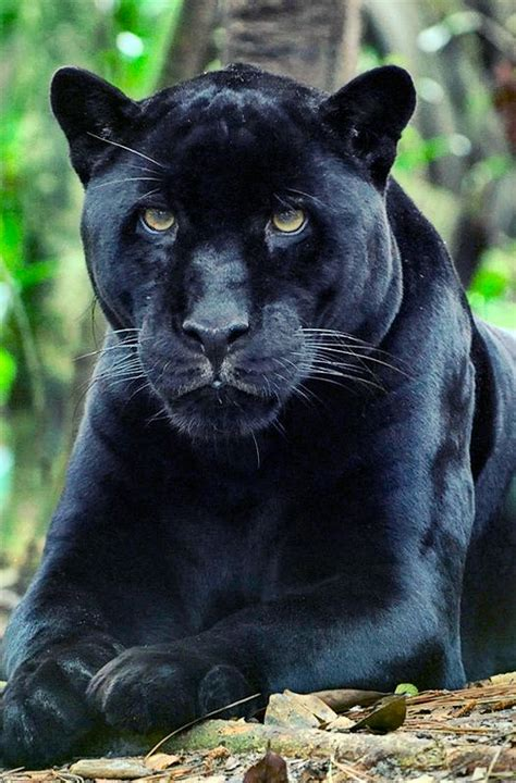panther    love  cats animals animals