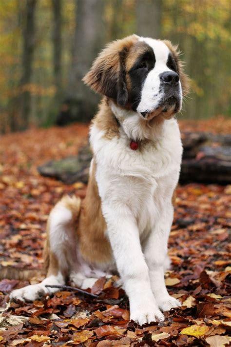 do st bernards shed all year best 25 st bernards ideas on st bernard dogs