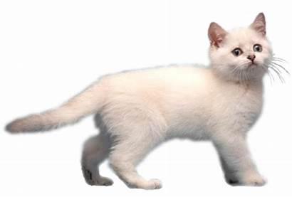 Kitty Cat Funny Psycho Boost Theme Twice