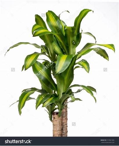 Yucca Plant Indoor Variegated Ornamental Foliage Crop